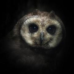Marsh Owl (10000 wishes) Tags: owl portrait darkeyes nature wildlife cute birdofprey raptor