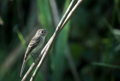 Willow Flycatcher (rmikulec) Tags: birds flycatcher small migration little weeds humber bay park hike empidonax traillii empidonaxtraillii ontario toronto september urban
