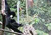 2017 Melbourne Zoo: White Cheeked Gibbon #5 (dominotic) Tags: 2017 melbournezoo royalmelbournezoologicalgardens animals victoria australia primate whitecheekedgibbon