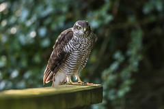 sparrowhawk-7699