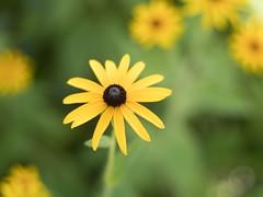 Flower (rickmcnelly) Tags: flower gx8 bokeh rollei carl zeiss planar 50mm18 rolleicarlzeissplanar50mm18