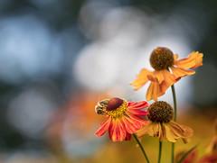 Bokeh light (susie2778) Tags: panasonic leicadgnocticron425f12 gx8 sussexprairiesgarden colourful bokeh flower mft bee hellenium