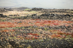 Vegetation Growing on Basalt Flows (wyojones) Tags: iceland highlands hrauneyjar thehighlandcenter volcaniclandscape hálendismiðstöðin mounthekla hecla stratovolcano ash basaltflows tephra landscape plants vegetation color red green basalt flowers grass geology wyojones