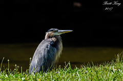 GBH by the river (dbking2162) Tags: birds bird blue green nature nationalgeographic wildlife water w wading whiteriver muncie indiana greatblueheron heron egrets