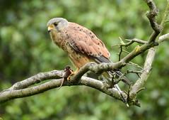 A kestrel with prey (PhotoLoonie) Tags: kestrel bird wildbird wildlife nature falcon nikon birdofprey