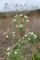 Conium maculatum, POISON HEMLOCK* (openspacer) Tags: apiaceae coniummaculatum nonnative wilderranchstatepark