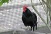 Australorp (pashieno) Tags: australorp hoyerswerda deutschland vögel zoo zootier
