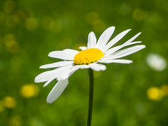 Duftnute (schasa68) Tags: blume flower nature natur naturliebhaber naturelovers macro outdoor naturphotographie nahaufnahme blumenwiese pflanze pflanzenwelt margeriten blüte