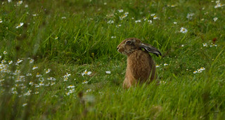Brown Hare - contemplating