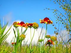 Summer brights (peggyhr) Tags: peggyhr gaillardia flowers wild cloud sky blue green white orange yellow bluebirdestates alberta canada visionaryartsgallerylevel1 thegalaxy groupecharliel1 infinitexposurel1 groupecharliel2 infinitexposurel2 infinitexposurel3 groupecharliel3 carolinasfarmfriends
