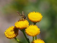 otokka1 (Konfu) Tags: oulu tanacetumvulgare mosquito hyttynen pietaryrtti panasonic 25mm f17 asph