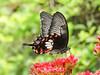 ESE-10-8 (Ajaykumar Bhagat) Tags: nagpur maharashtra civil lines butterfly flowers