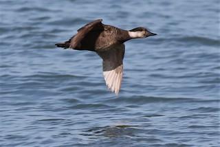 Common Scoter  (Melanitta nigra)   sea duck,