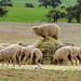 'One in every Mob' (robby.macgillivray) Tags: mob sheep hay feed lamb rural south australia