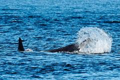 Orca Tail Slap Series (ferglandfoto) Tags: d5c4889 orca tailslap killerwhale