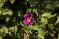 "Lewis Monkeyflower • <a style=""font-size:0.8em;"" href=""http://www.flickr.com/photos/63501323@N07/36433680424/"" target=""_blank"">View on Flickr</a>"