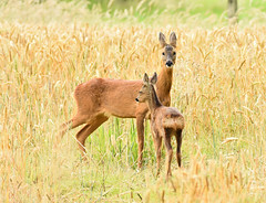 Roe deer (George Findlay) Tags: deer roe doe calf nikon sigma ayrshire