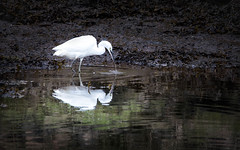 Little Egret. (Catherine Cochrane) Tags: egret bird fish fishing water birds waders river wildlife nature seaweed reflections springwatch