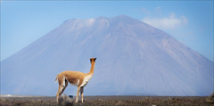 Vicuna and Volcano (kate willmer) Tags: vicuna volcano mountain wildlife landscape altiplano peru