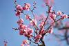 梅の花 (Plumtree blossom) (charles.caer) Tags: 長野県 松本 松本城 matsumoto matsumotojo matsumotocastle cherryblossom 梅 梅の花 花見