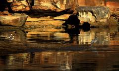 TESTING the GOLDEN POND (Lani Elliott) Tags: nature naturephotography lanielliott water rocks scene scenic view landscape light lighting bright gold golden birds maskedlapwings whitefacedheron scenictasmania australianbirds tasmanianbirds fantastic gorgeous awesome brilliant excellent