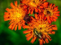 A slice of summer in my garden. (aquanout) Tags: bee insect flower dandelion bokeh orange red yellow green pretty