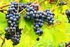 Concord grapes at Seed Savers Exchange IA 854A7929 (lreis_naturalist) Tags: concord grapes seed savers exchange winneshiek county iowa larry reis