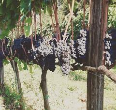 September is coming 🍷🍇 #like #follow #vendemmia #grapes #Montalcino #Tuscany #Italy #nature #wine #vineyard #travel #discover #enjoy (borghettob) Tags: like follow vendemmia grapes montalcino tuscany italy nature wine vineyard travel discover enjoy
