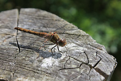 Dragonfly (mignorette) Tags: suffolk wildlife macro dragonfly wood post