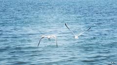 P_20170801_1060784_001_ff (fabri192020) Tags: sea birds nature seagulls fly