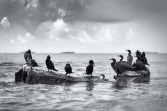 Cormorants in Gulf of Mexico (RobertFenyo) Tags: blackandwhite blackwhite ocean birds animals nature