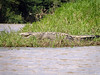 Rio Sarapiqui_56 (Thomas Jundt + CV) Tags: alligator costarica heredia riosanjuan
