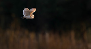 Barn Owl.(Tyto Alba)