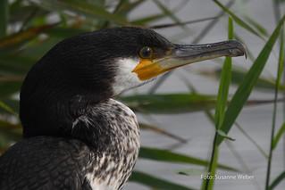 Kormoran - Cormorant - Wildlife heute in Glücksburg
