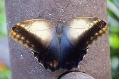 Giant Owl Butterfly (Caligo memnon) (Seventh Heaven Photography) Tags: giant owl butterfly caligo memnon caligomemnon pale chester zoo cheshire england nikond3200 nymphalidae papillon