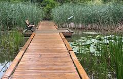 Wetland Bench (peterkelly) Tags: digital ontario canada northamerica canon 6d hamilton arboretum rbg royalbotanicalgardens boardwalk marsh wetland bench reeds green cootestoescarpmentecoparksystem
