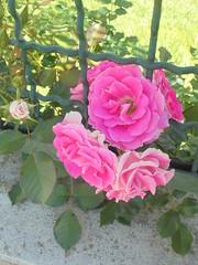281 (en-ri) Tags: rose roses rosa sony sonysti grata verde foglie leaves
