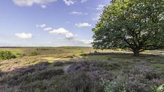 2017_6D2_IMG_0408_RGL (RMRJ_L) Tags: veluwe zoom posbank heide bloei landschap landscape heath flow