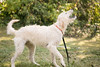 frodo-service-dog-in-training-5 (Little Earthling Photography) Tags: dog labradoodle water servicedog boy summer
