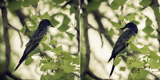 Kingbird hunting from a ginko
