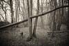 Misty walk (SASHA TURPIN) Tags: forest fog mist monochrome moody mood morning misty 5d 24105mm canon landscape trees path bw blackandwhite dog