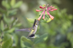 Working it~ (Connie Etter Photography) Tags: 2017 migration hummingbird bird honeysuckle flower flight eat indiana canon 1dx