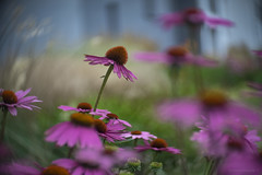 urban beautification (gnarlydog) Tags: adaptedlens flowers urban selectivefocus shallowdepthoffield bokeh swirly fieldcurvature kodakcine50mmf16 manualfocus vintagelens