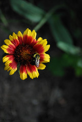 Last One (John Neziol) Tags: jrneziolphotography nikon nikoncamera nikondslr nikond80 nature interesting insect brantford bokeh beautiful bright bee bug bumblebee buzz animal naturallight wildlife wings gaillardia garden blanketflower macro flower portrait nikonflickraward