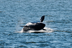 Orca Breach 7-6-17 (ferglandfoto) Tags: d5c5447 orca orcabreach beach killerwhale whale whalewatching whalephotography nature naturepicture naturepic naturephotography wildlife wildlifepic wildlifephotography