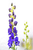 friday's flower power (Sabinche) Tags: sabinche flower blossom purple aconite monkshood eisenhut poisonous