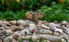Tamias Striatus Gigantus (John G Briggs) Tags: preiser ho scale little people tourists photographer outdoors chipmunk bokeh