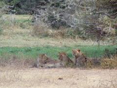 DSC00422 (francy_lioness) Tags: safari jeep animals animali ippopotami leone savana gnu elefante iena pumba tanzaniasafari ngorongorocratere gazzella antilope leonessa lioness facocero