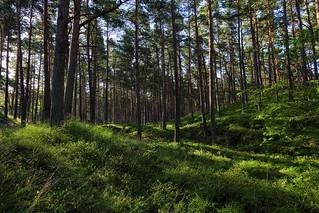 Föhrenwälder und Moosbeerfelder