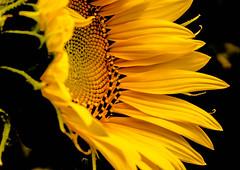 Sunflower (dmunro100) Tags: closeup garden home summer 2017